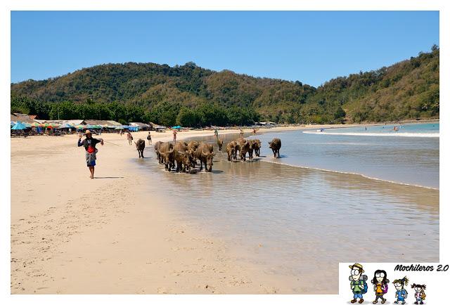 bufalos playa lombok
