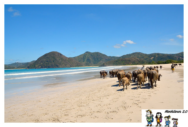 bufalos playa