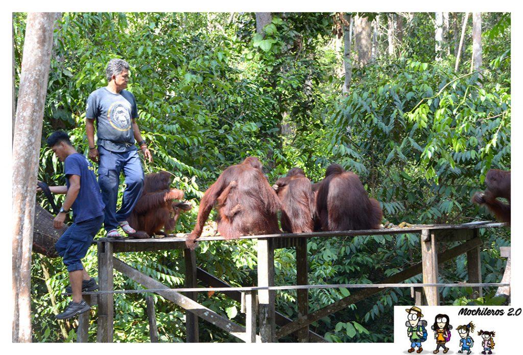alimentacion orangutanes
