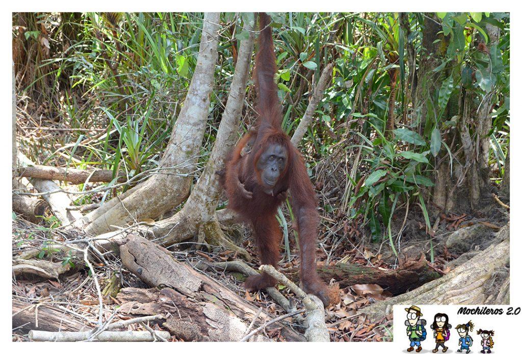 hembra orangutan con cria
