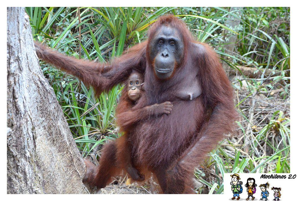 indonesia orangutanes