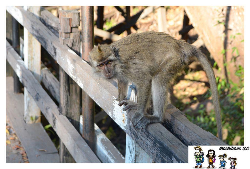 macaco borneo indonesia