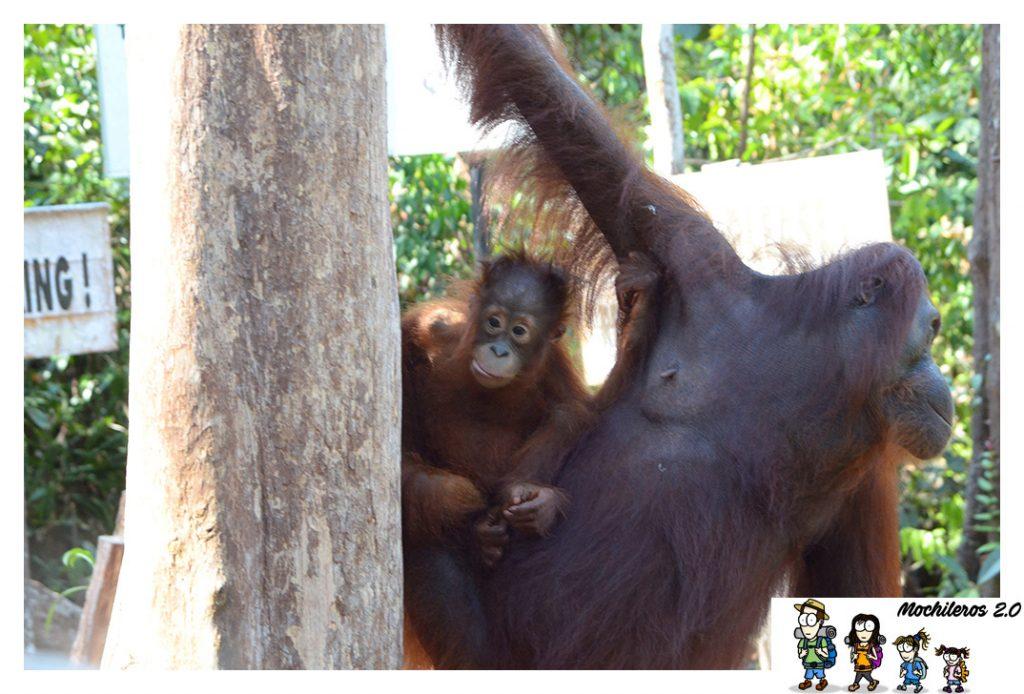 orangutan bebe con madre