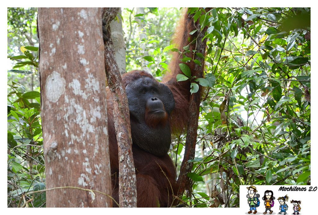 orangutan borneo pondok tanngui