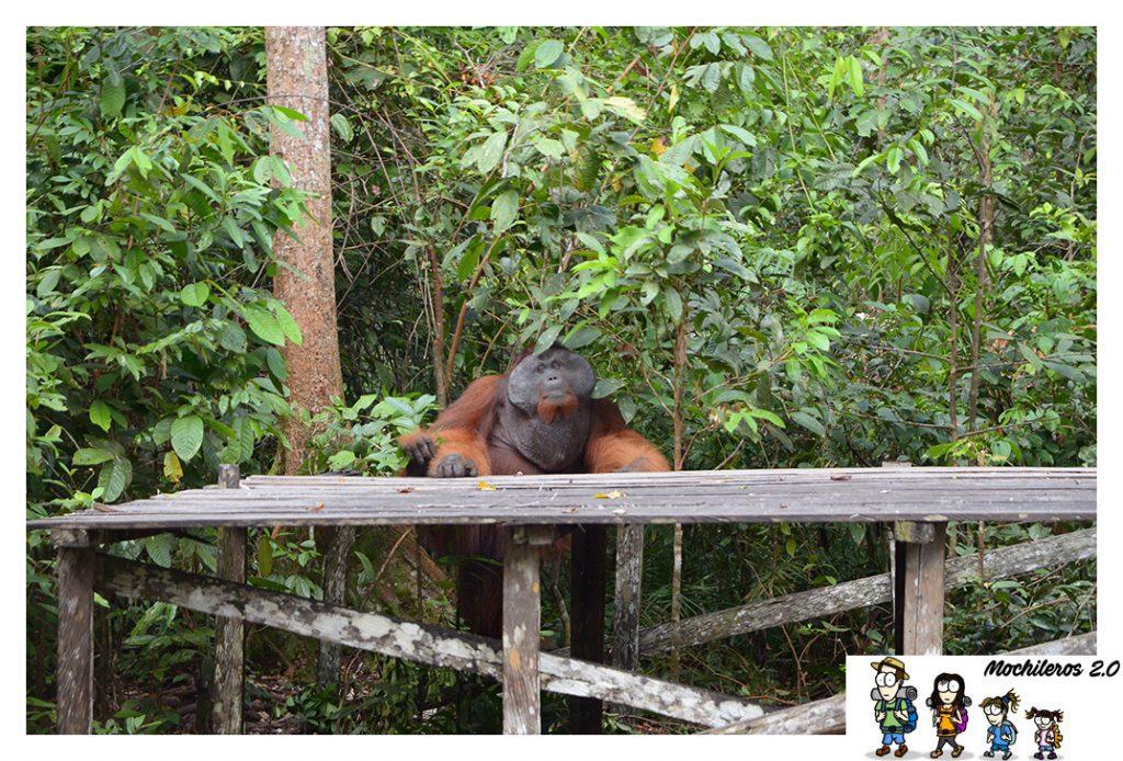 orangutan doyok macho alfa