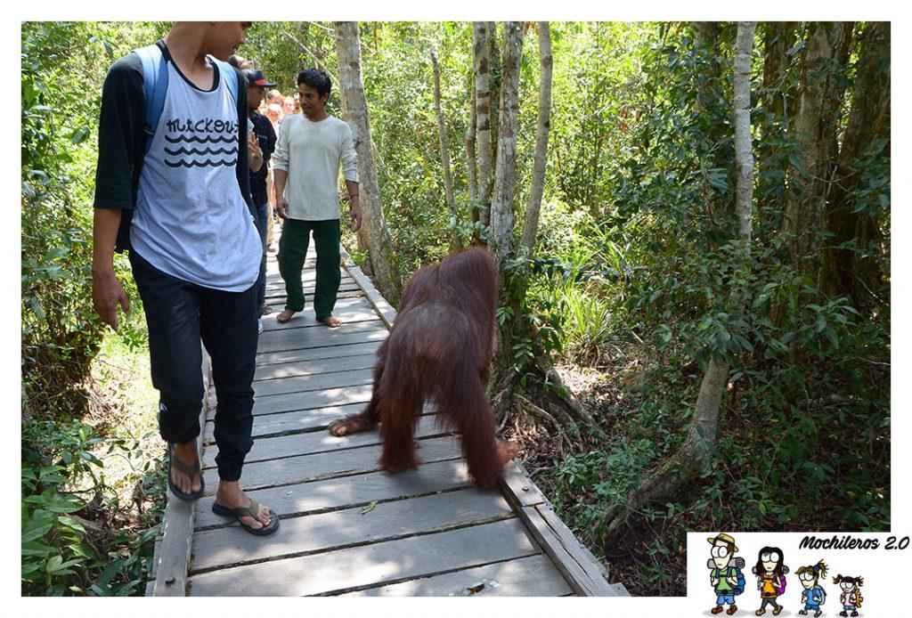 orangutan en camino