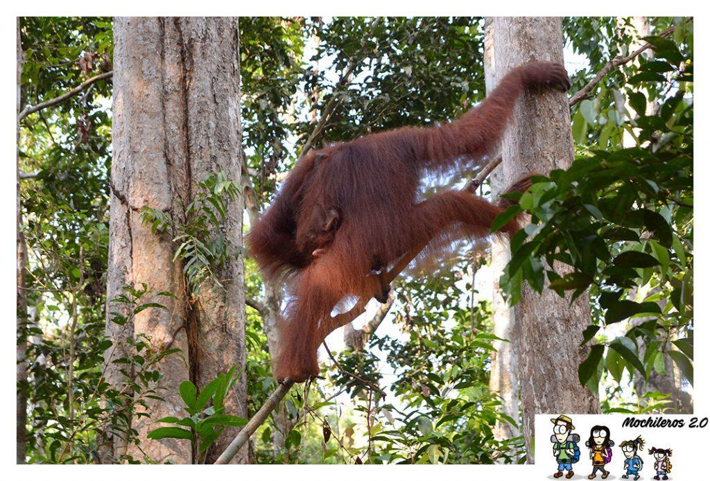 orangutan hembra tanjung harapan