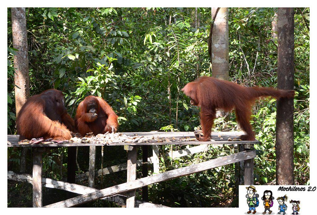 orangutan inteligentes