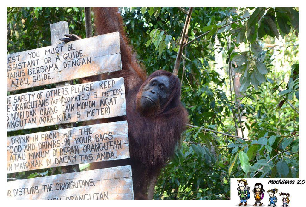 orangutan leaky camp