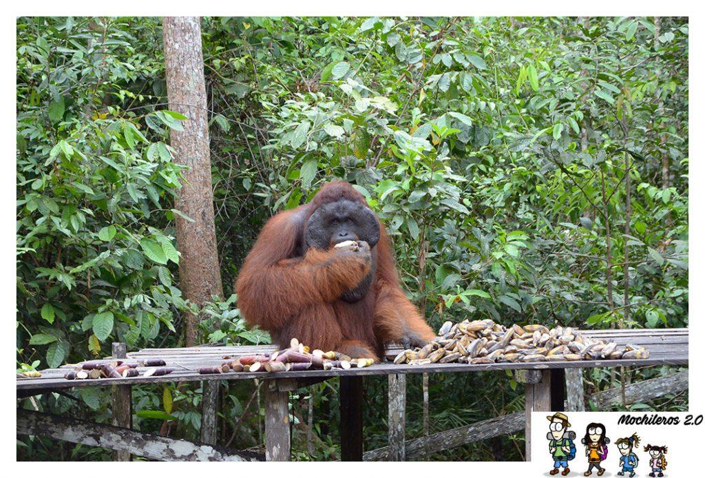orangutan macho alfa comiendo