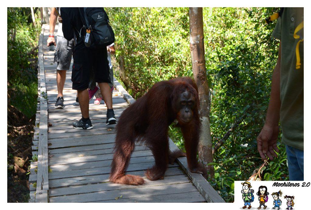 orangutan peligro camino