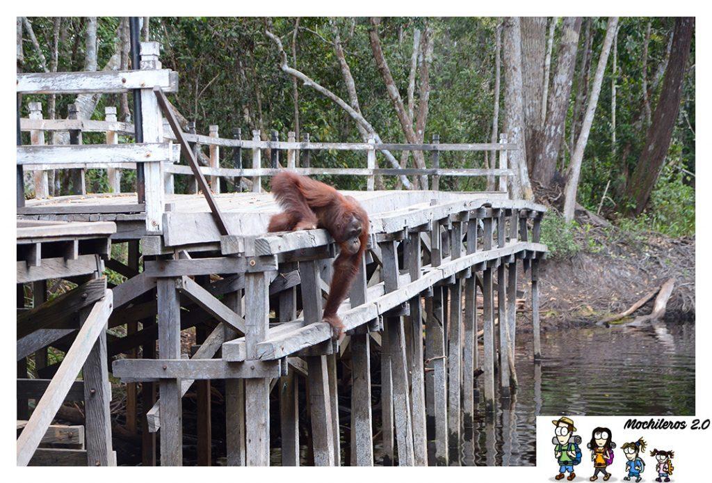 orangutan persie borneo