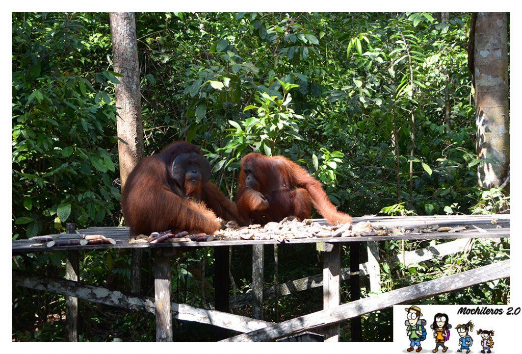 orangutanes pareja
