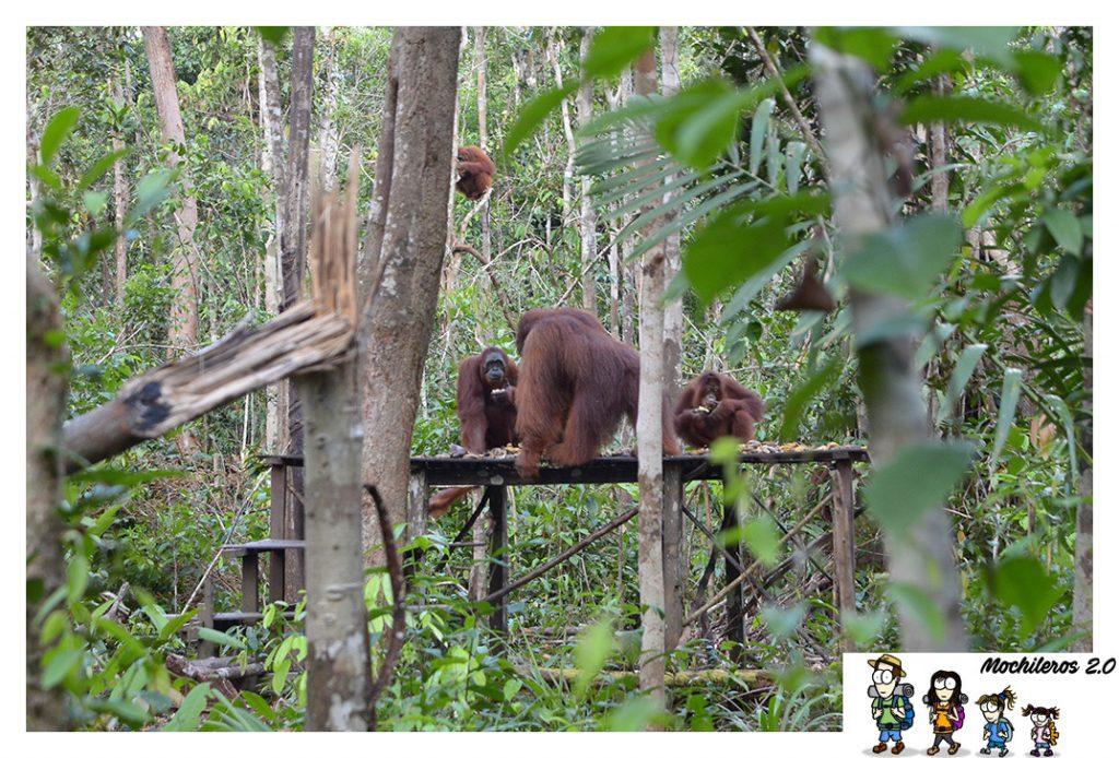 orangutanes tanjung harapan