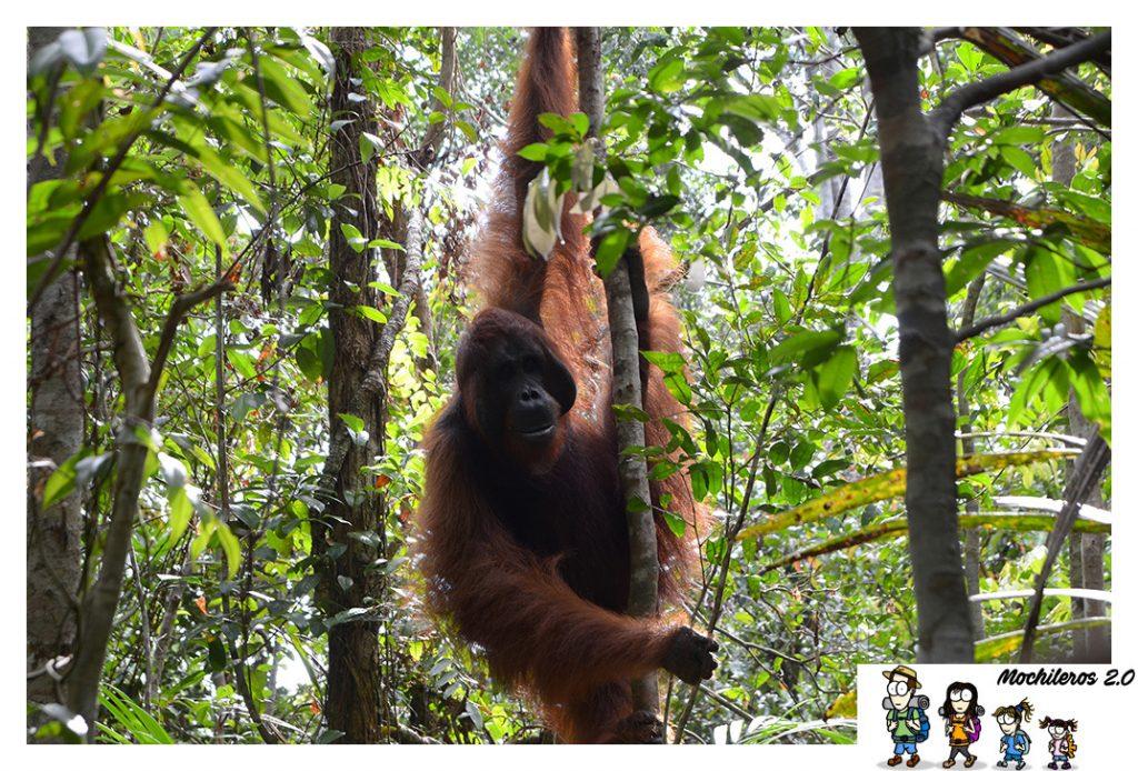 tanjung harapan orangutan