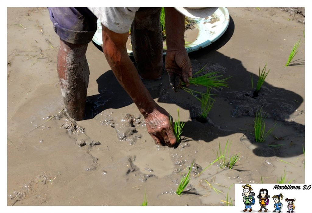 ubud siembra arroz