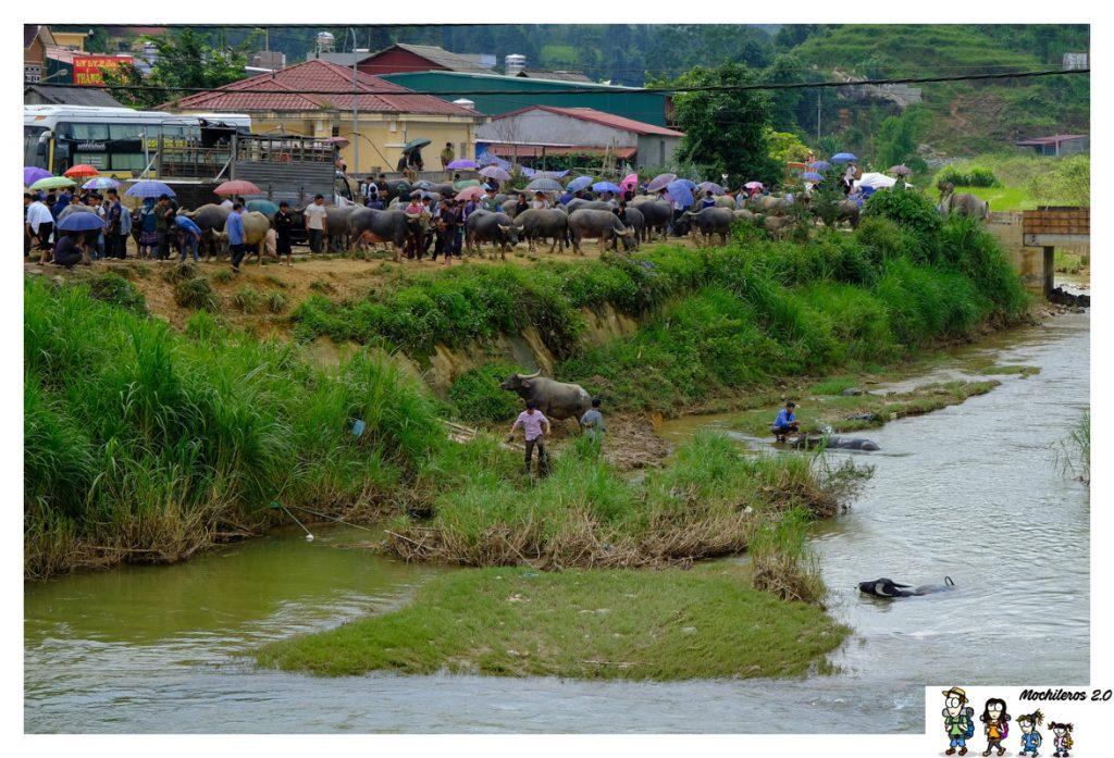 bac ha bufalos rio