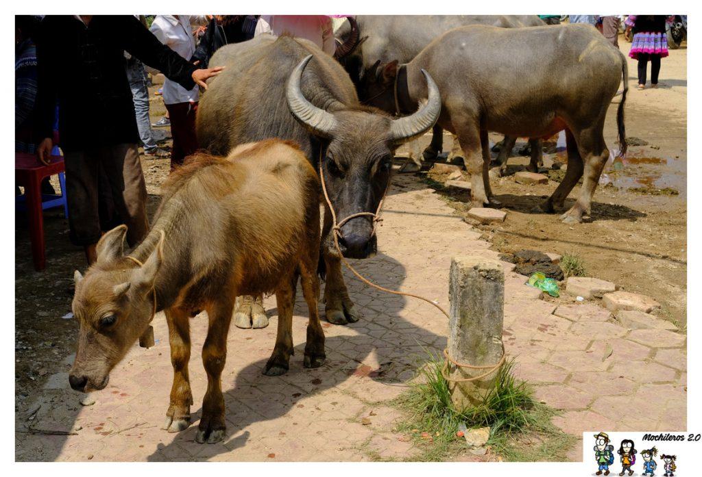 bac ha venta bufalos