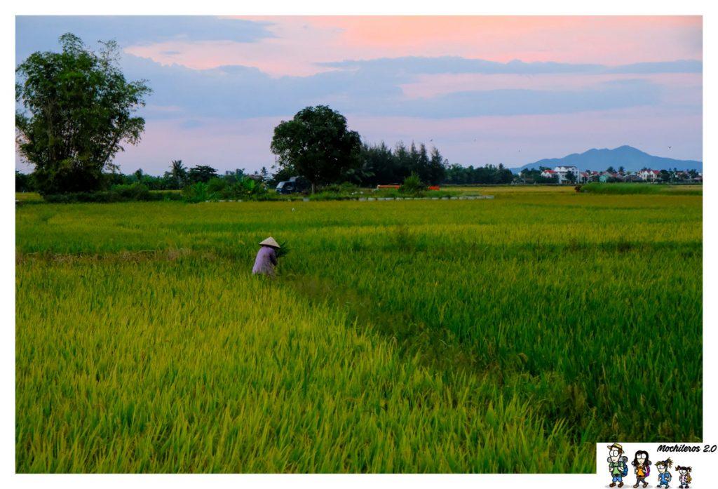campos arroz hoi an