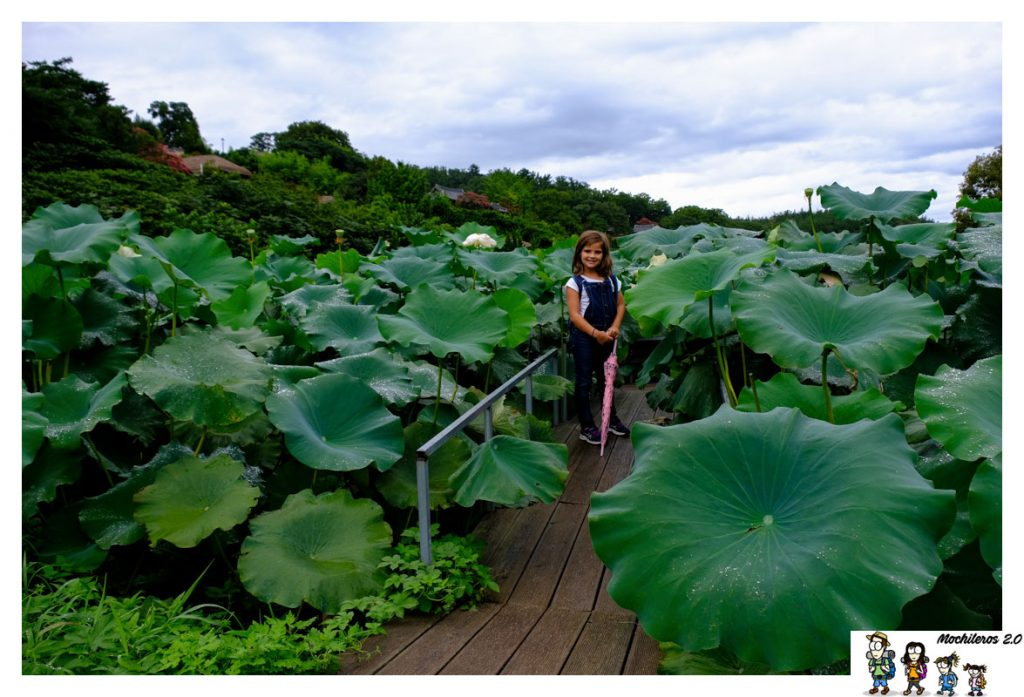 flor loto corea yangdong