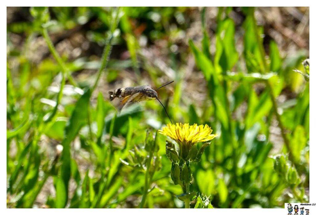 Esfinge colibrí en los campos de Artajona